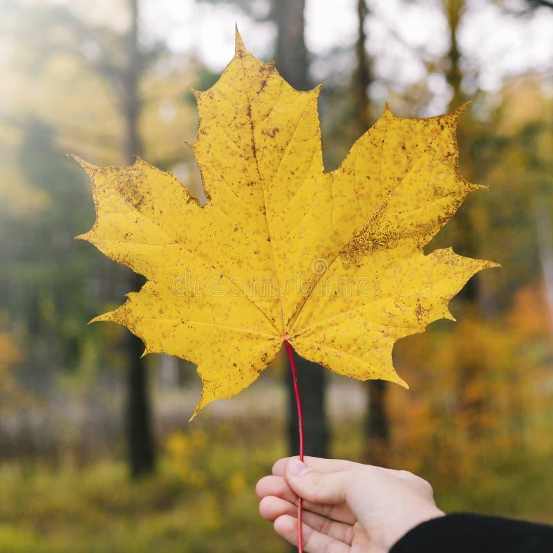 A mão da menina guarda uma folha amarela do bordo na perspectiva da floresta que do outono o sol está caindo em uma folha S?mbolo imagem de stock royalty free