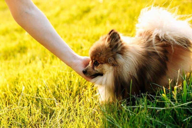A mão da menina que afaga o cachorrinho pomeranian bonito foto de stock