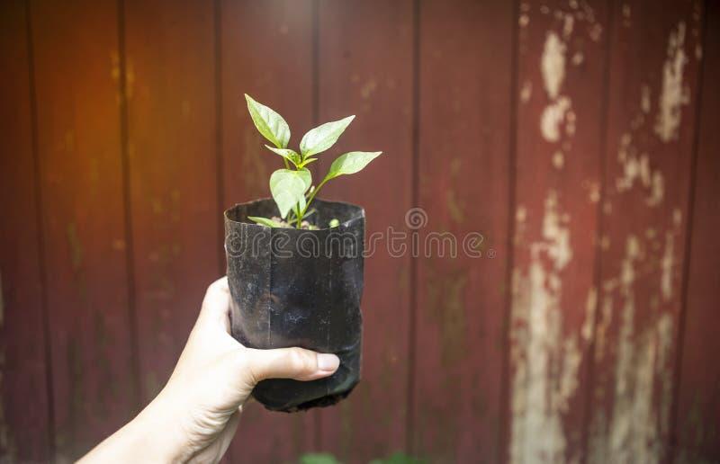 Mão da menina que guarda a planta verde nova do pimentão no saco preto sobre o fundo de madeira vermelho velho da parede fotos de stock royalty free