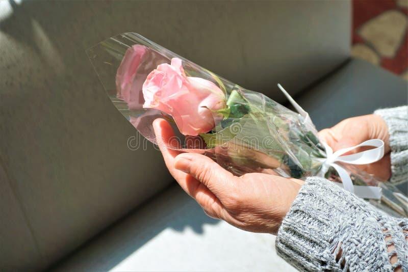 A mão da mulher guarda a rosa cor-de-rosa foto de stock