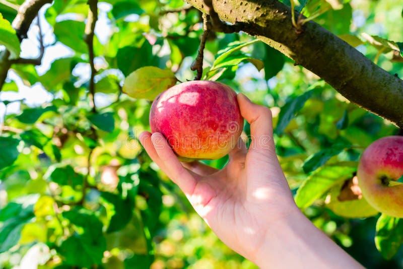 Mão da mulher que escolhe a maçã vermelha de uma árvore fotografia de stock royalty free