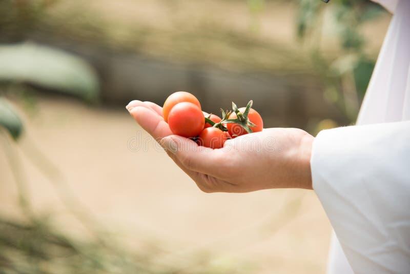 mão da mulher que guarda multi tomates de cereja da cor nas mãos foto de stock