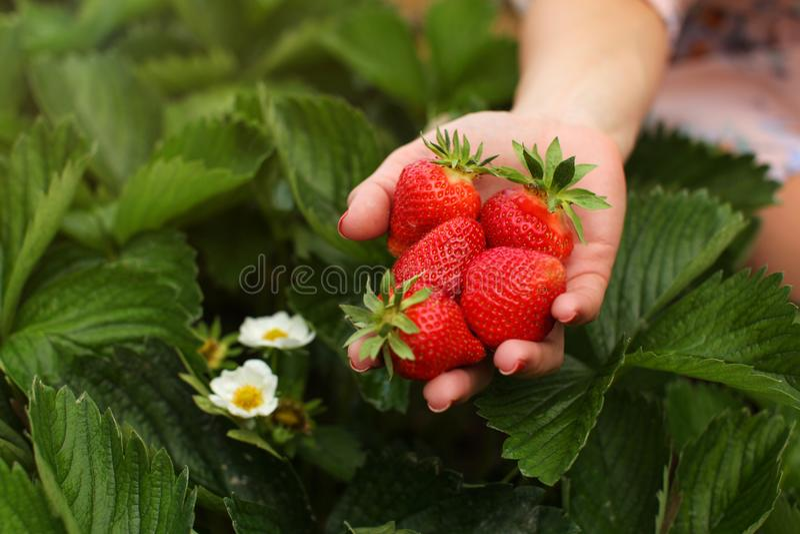 Mão da mulher que guarda o punhado de morangos recentemente escolhidas no sel imagens de stock royalty free