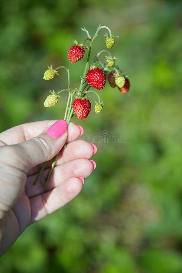 A mão da mulher que guarda um arbusto da morango fotografia de stock royalty free