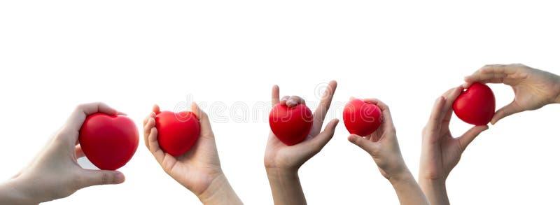 A m?o da mulher que guarda um cora??o vermelho no fundo branco isolado imagens de stock