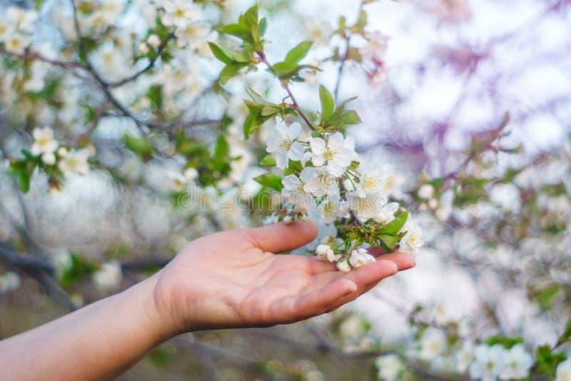 A mão da mulher que guarda uma flor de cerejeira imagens de stock