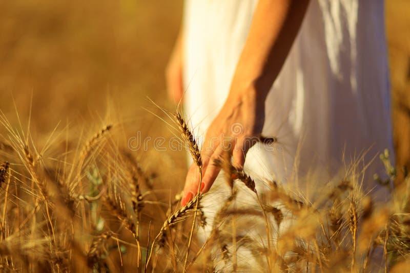 Mão da mulher que toca em uma orelha dourada do trigo no campo de trigo - imagem imagens de stock royalty free