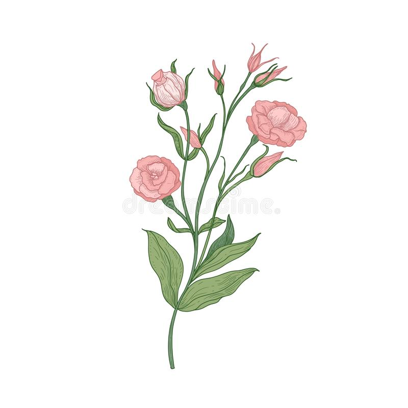 Mão de florescência cor-de-rosa do Eustoma ou da flor do lisianthus tirada no fundo branco Desenho natural do jardim cultivado ilustração royalty free
