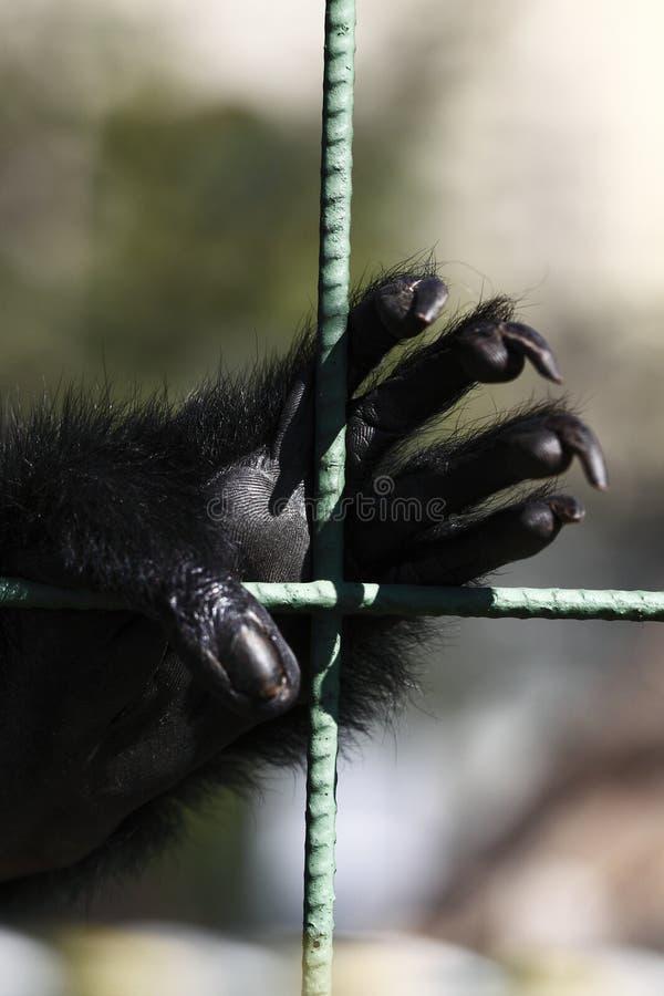 Mão de Gibon imagens de stock