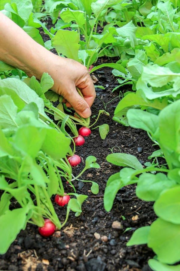 Mão de uma mulher que escolhe a primeira colheita dos rabanetes no jardim aumentado da cama fotos de stock royalty free