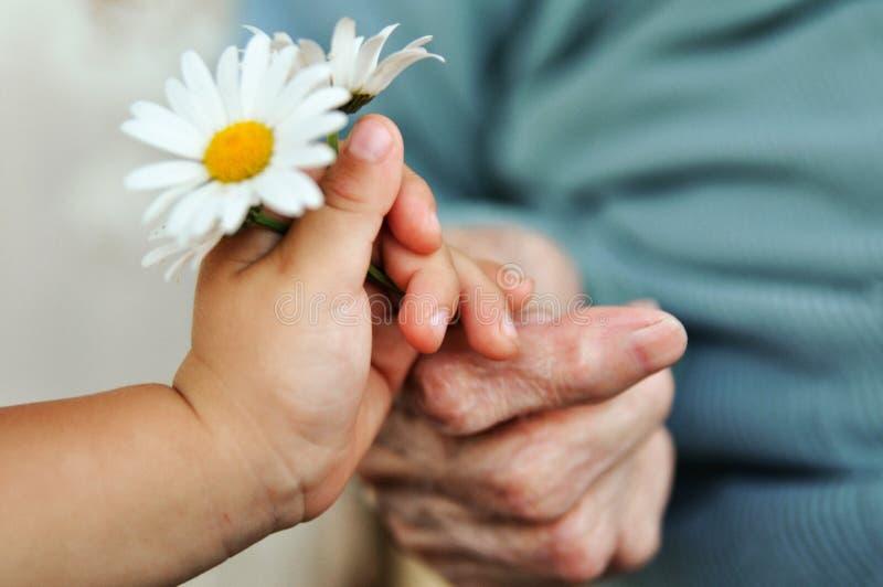A mão do bebê dá a camomila para uma mulher mais idosa no feriado fotos de stock royalty free