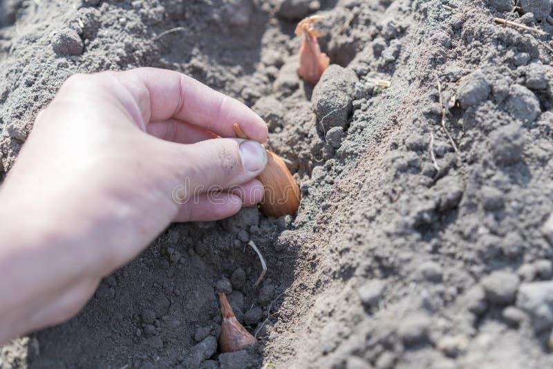 Mão do fazendeiro da mulher que semeia as cebolas no jardim vegetal orgânico, fim acima da mão plantando a semente no solo, colhi fotografia de stock