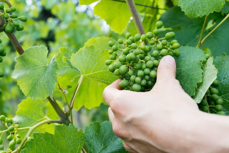 A mão do fazendeiro de vinho fêmea verifica a qualidade de uvas noir verdes novas de pinot em um vinhedo imagem de stock royalty free