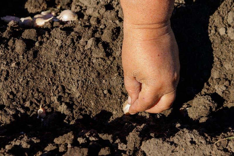 A mão do fazendeiro que planta o alho no jardim vegetal imagens de stock