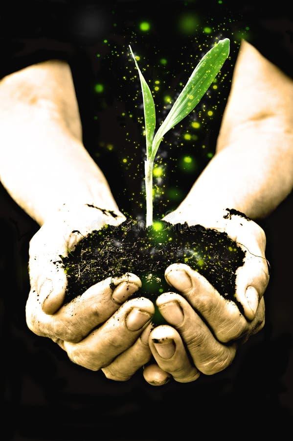 Mão do fazendeiro que prende uma planta nova fresca foto de stock