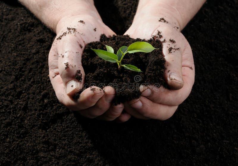 Mão do fazendeiro que prende uma planta nova fresca imagem de stock