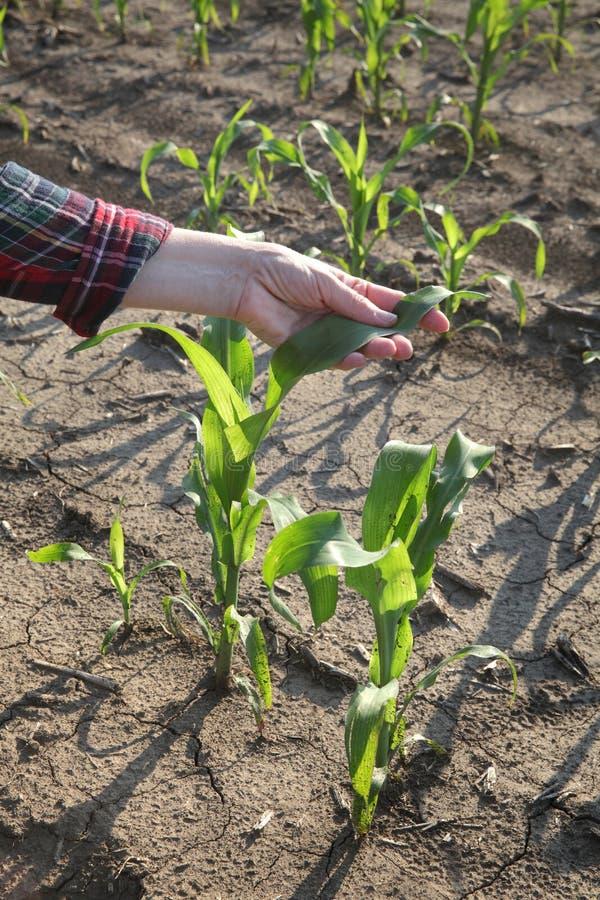 Mão do fazendeiro que toca na planta de milho foto de stock