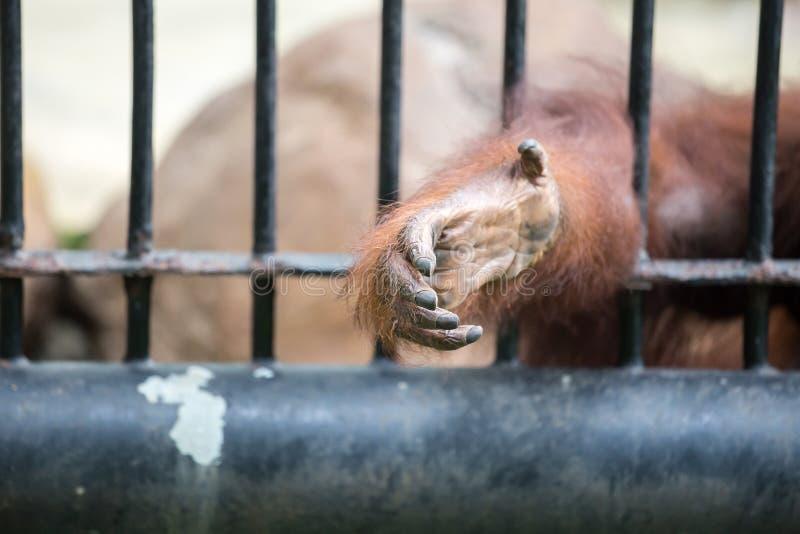 A mão do gorila imagem de stock royalty free