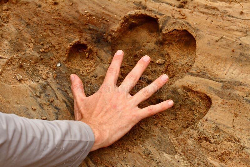 A mão do homem dentro da cópia do pé do hipopótamo foto de stock royalty free