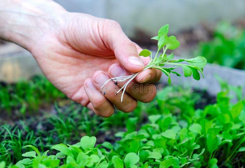 A m?o do homem que guarda microgreens no fundo da sementeira O fazendeiro inspeciona brotos frescos da salada de foguete no jardi imagem de stock royalty free