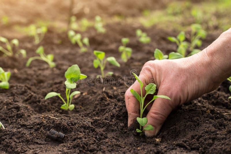 Mão do jardineiro que planta a planta nova na terra foto de stock royalty free