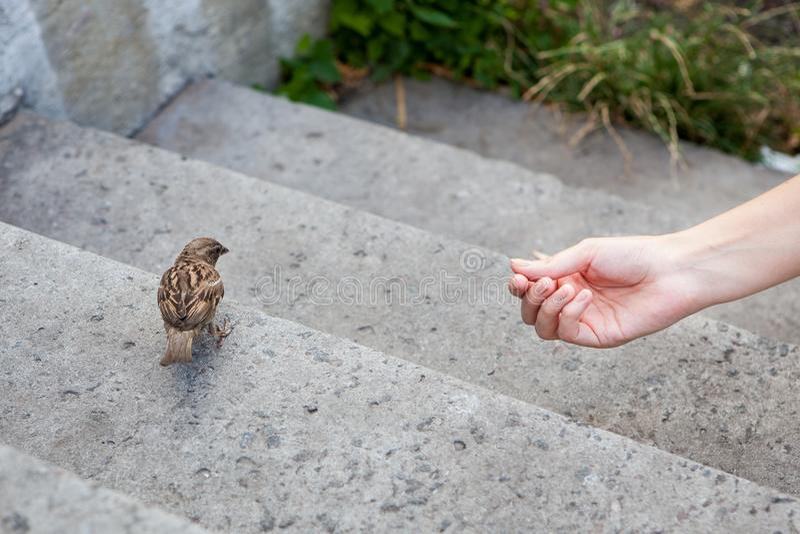 Mão do ` s da mulher que alimenta o pássaro pequeno do pardal imagem de stock royalty free
