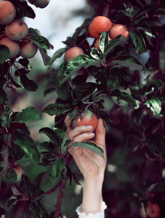 Mão do ` s da mulher que escolhe maçãs maduras de uma árvore de maçã imagens de stock
