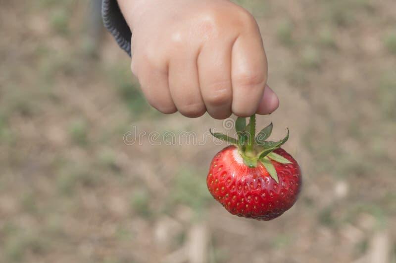 A mão do ` s do bebê guarda a morango madura no fundo da terra fotos de stock royalty free
