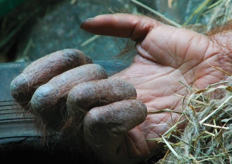 Mão dos gorila imagem de stock royalty free