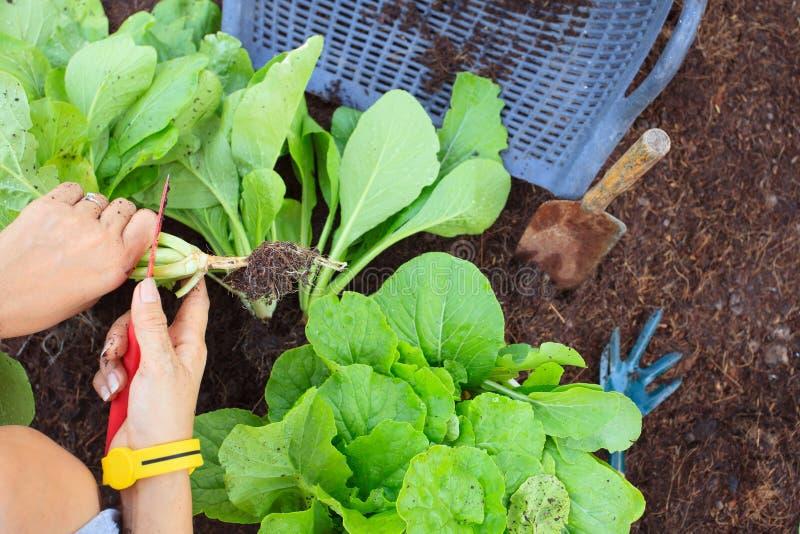 A mão dos povos colhe o vegetal orgânico limpo no jardim home FO foto de stock