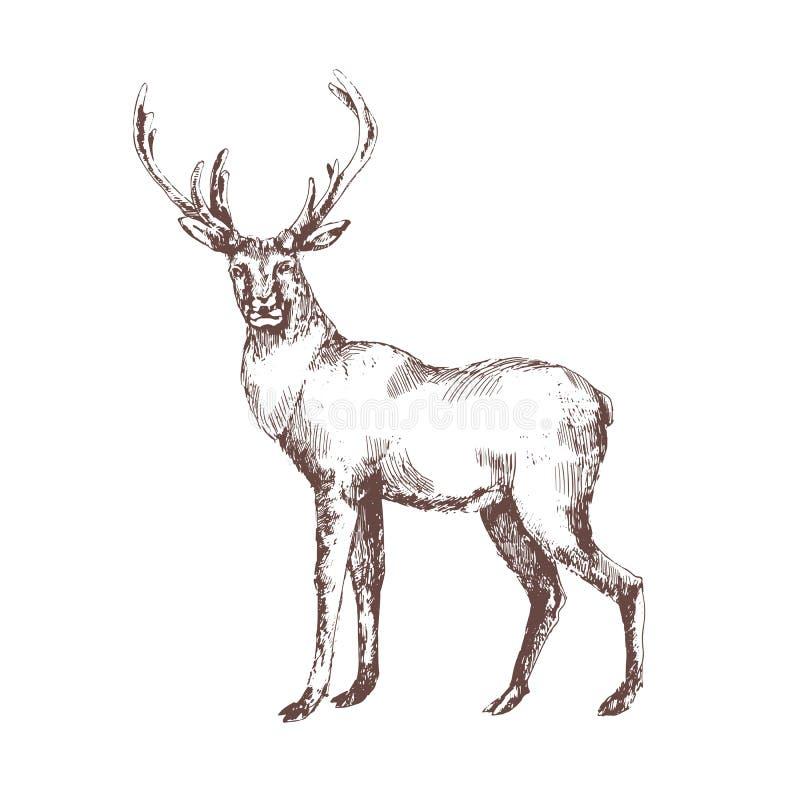 Mão dos veados vermelhos tirada com linhas de contorno no fundo branco Desenho de esboço elegante do animal selvagem da floresta  ilustração royalty free