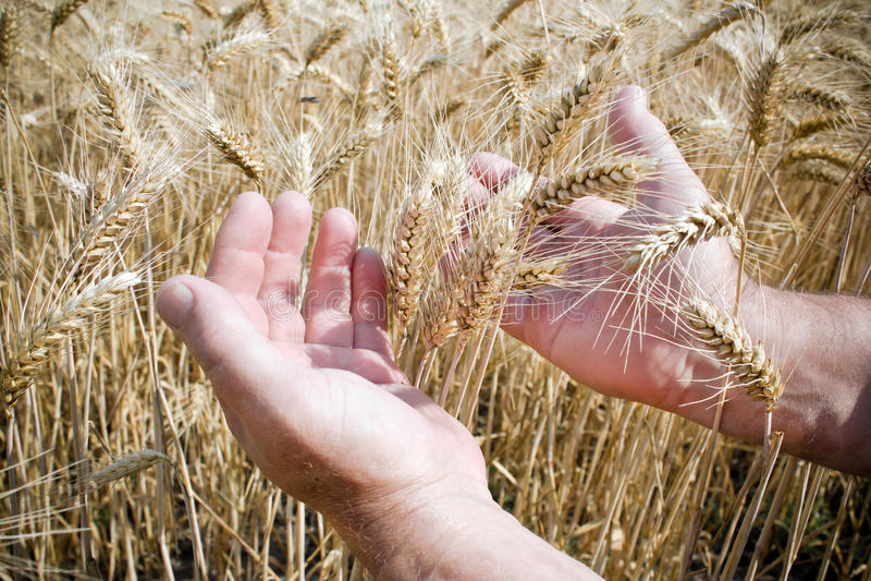 Mão em um campo de trigo imagens de stock