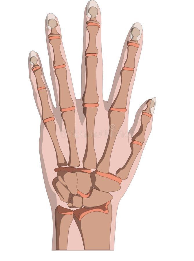 Mão esqueletal ilustração stock