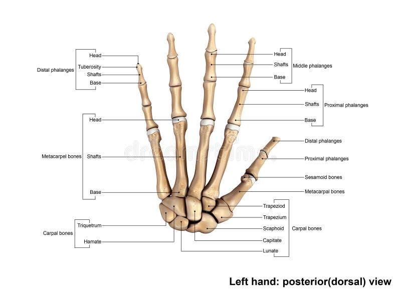 Mão esquerda Posterior& x28; dorsal& x29; Ver fotografia de stock royalty free