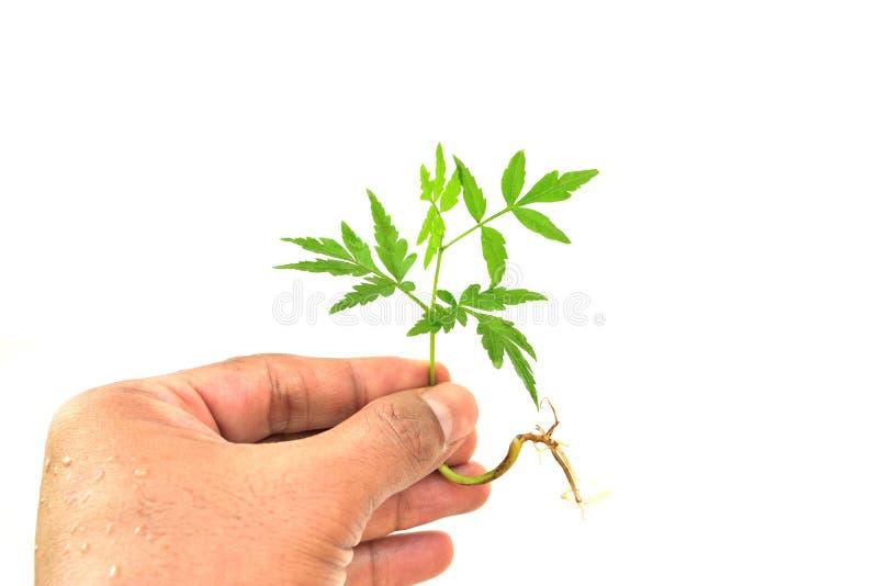 A mão está mantendo uma árvore pequena isolada foto de stock royalty free