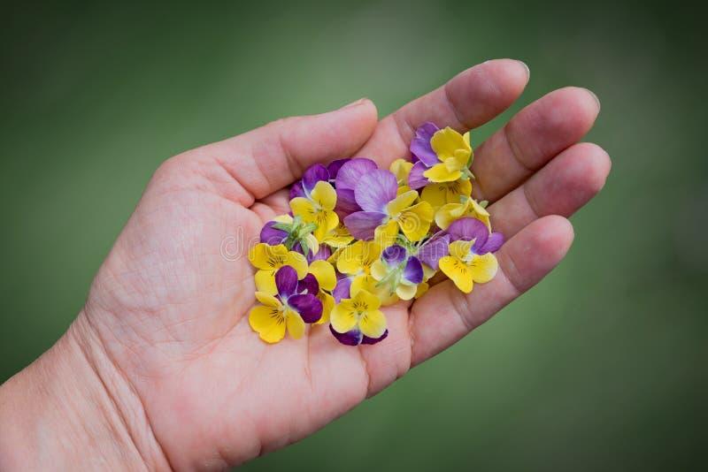 Mão fêmea com flores da viola fotografia de stock