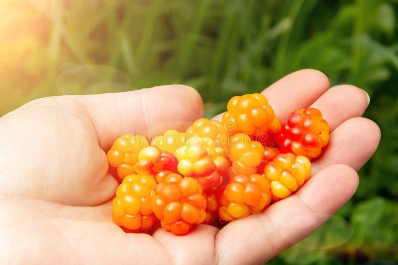 Mão fêmea com um punhado de cloudberries frescos no close-up da floresta fotografia de stock