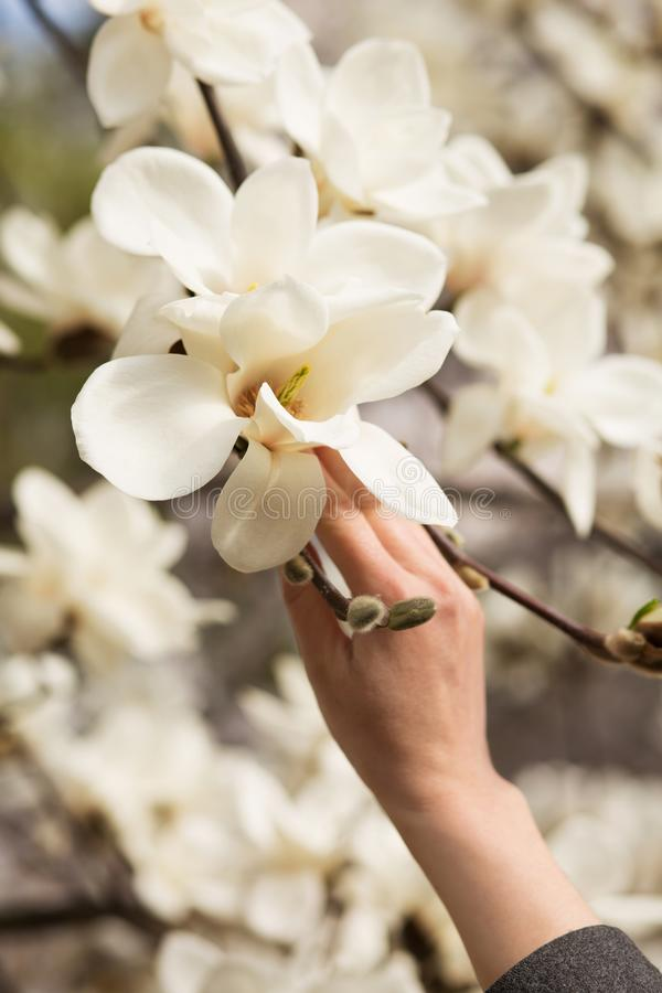Mão fêmea que guarda a magnólia de florescência Tulip Tree imagens de stock