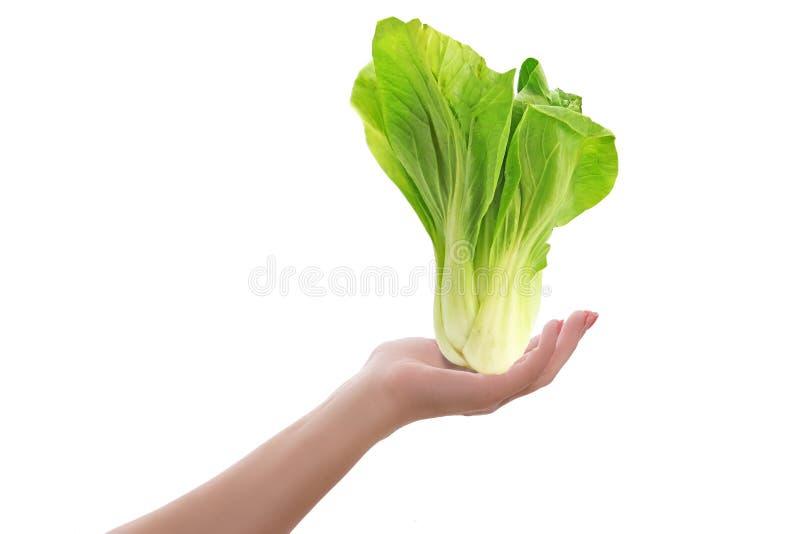 Mão fêmea que guarda a planta da alface ou da salada isolada Conceito saudável do vegetariano ou do vegetariano fotos de stock royalty free