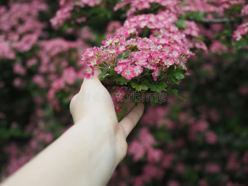 Mão fêmea que guarda um ramo de uma árvore bonita foto de stock royalty free