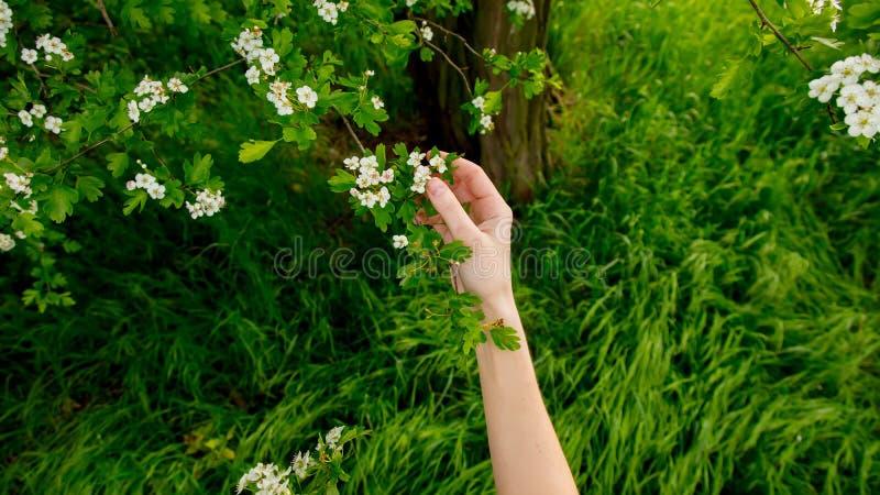 Mão fêmea que guarda um ramo de uma árvore de florescência foto de stock