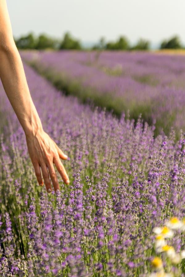 Mão fêmea que toca delicadamente em flores florescidas da alfazema em um campo da alfazema antes do por do sol Foco seletivo foto de stock