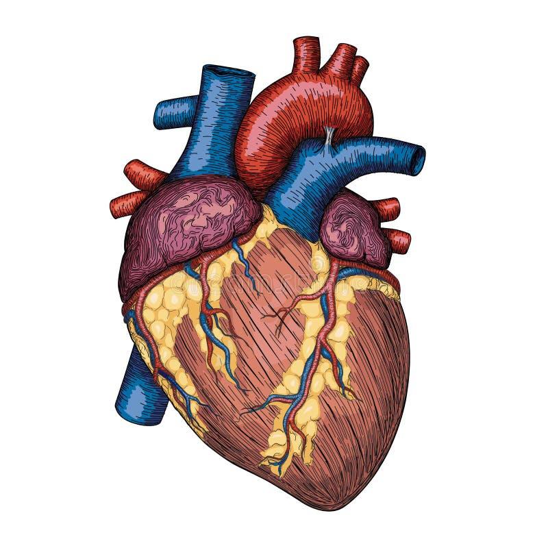Mão humana do coração tirada Esboço anatômico Medicina, colo do vetor ilustração royalty free