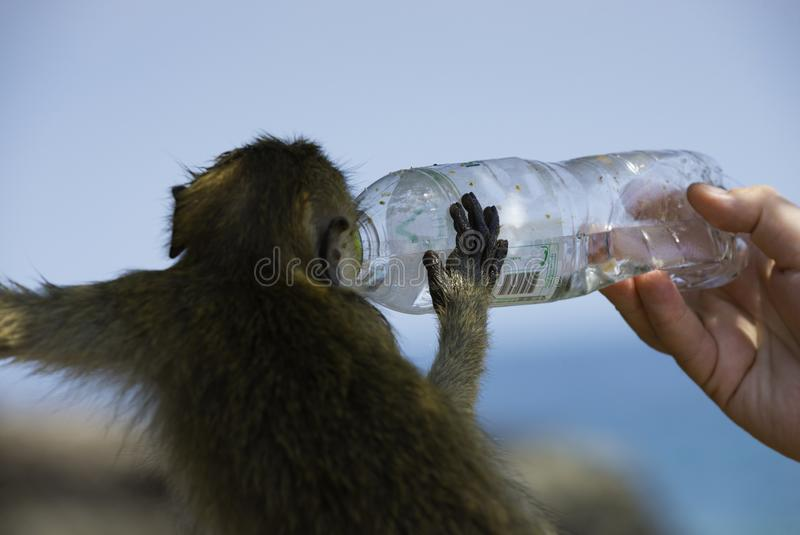 A mão humana guarda o bootle plástico da água para que o macaco beba MCr fotos de stock