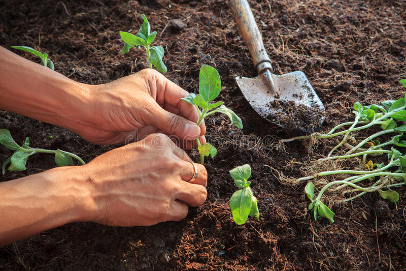 Mão humana que planta a planta nova dos girassóis no uso do solo da sujeira para fotos de stock