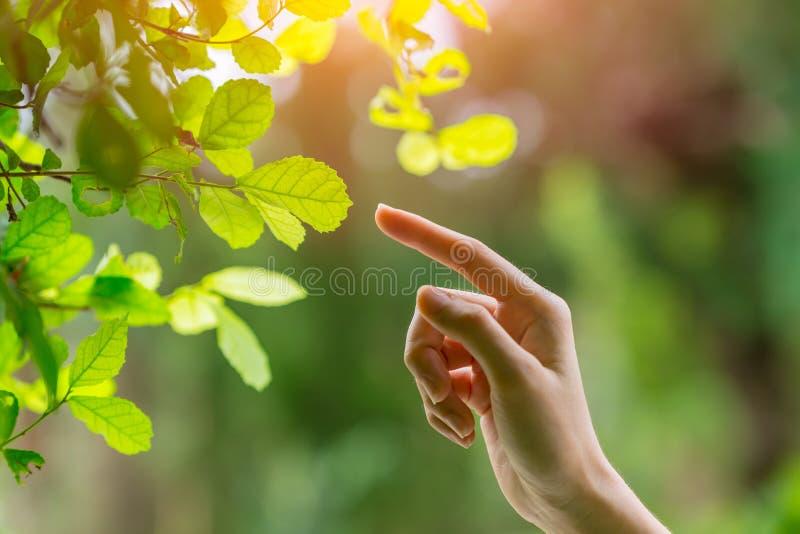 Mão humana que toca apontando o dedo à folha do verde da natureza imagem de stock