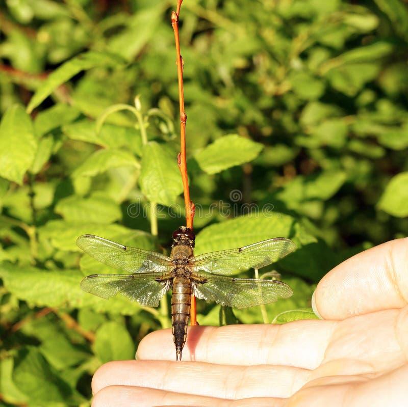 A mão humana toca na libélula que senta-se no dranch no fundo verde do verão das folhas fotos de stock