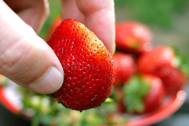 A mão humana toma a grande morango madura vermelha da placa e mostra-lhe o close-up Bagas grandes, colheita do verão, natural sau imagem de stock royalty free