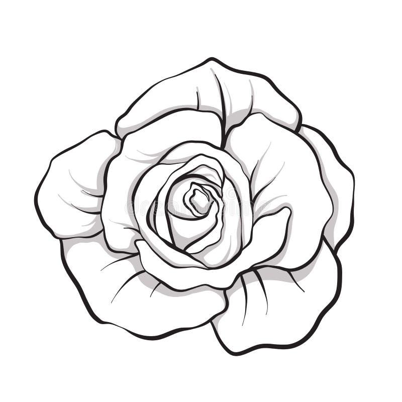 Mão isolada flor do esboço de Rosa tirada Linha conservada em estoque illus do vetor ilustração stock