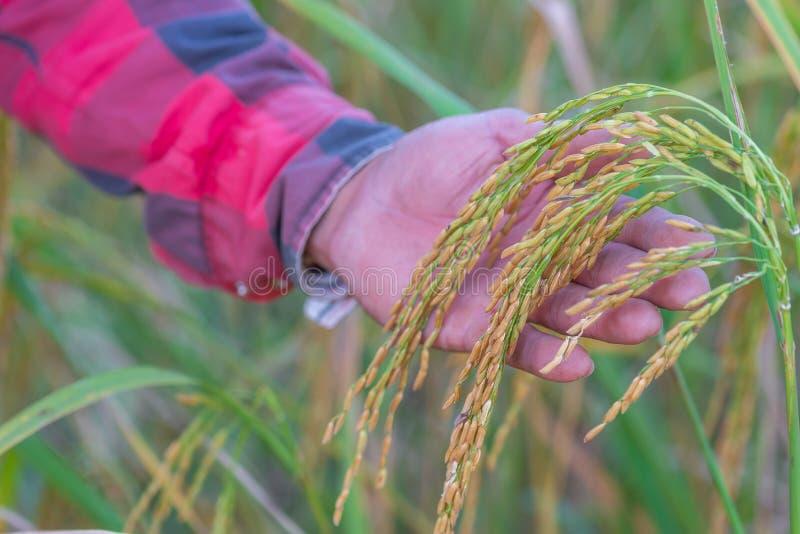 A mão masculina do fazendeiro que toca no arroz no arroz arquivou O conceito toma c imagens de stock
